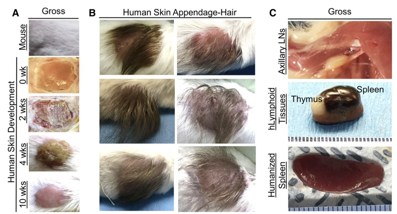 """Horrific: Scientists Use Scalps From Aborted Babies to Create """"Humanized Mice"""" for Research"""